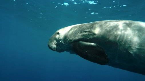 A snippet from Dugongs: Fascinating Marine Animals at Risk showcasing a dugong underwater