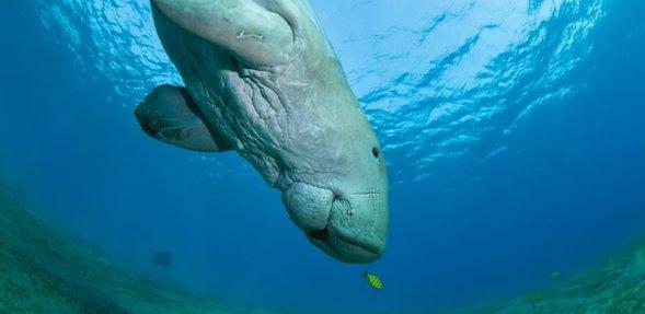 حيوان بقر البحر يسبح في أعماق البحر