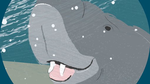 An illustration of a male dugong with his tusks on display